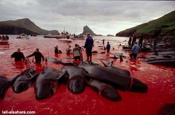 Au Japon, militants écologistes et pêcheurs de dauphins vont se rencontrer