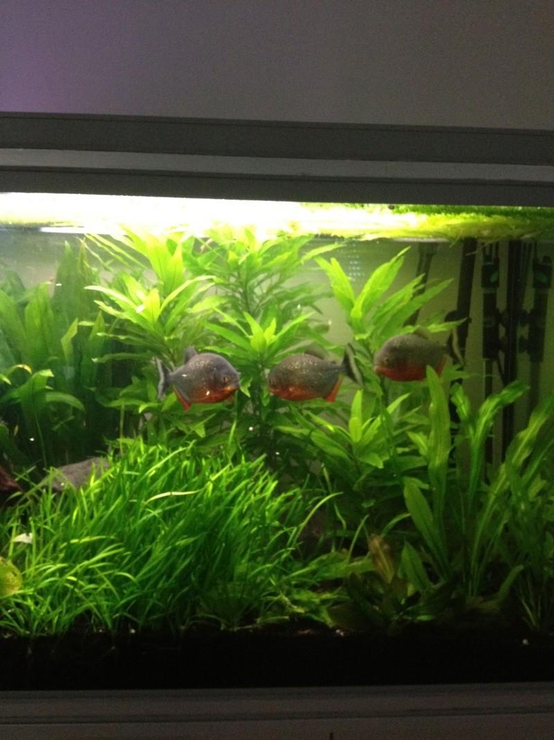 aquarium 360L brut piranhas