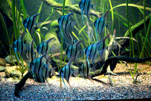 aquarium eau douce scalaire