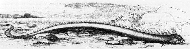 régalec ou oarfish (Regalecus glesne)