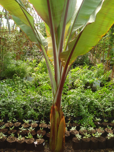 bananiers et palmiers identifier svp. Black Bedroom Furniture Sets. Home Design Ideas