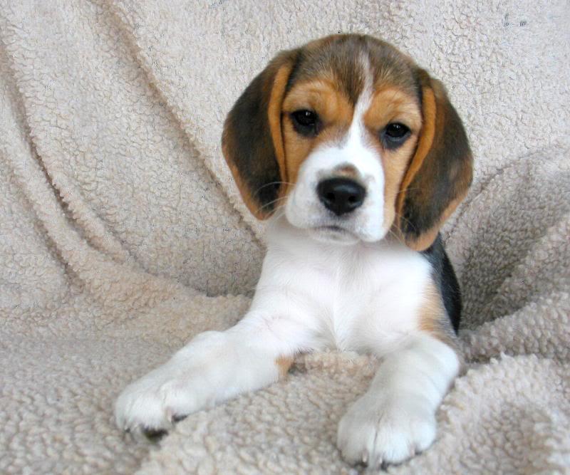 Il cane beagle for Nomi per cani maschi taglia piccola