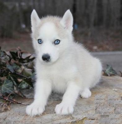 Husky bianco e nero occhi azzurri wroc awski informator - Cane occhi azzurri ...