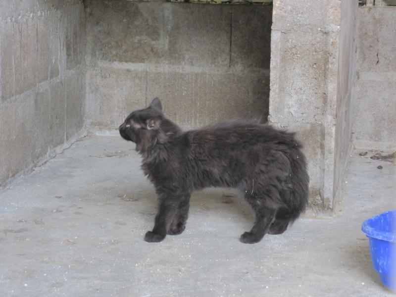 bambino superbe chaton noir 3 mois 1 2 poils longs refuge du mordant. Black Bedroom Furniture Sets. Home Design Ideas