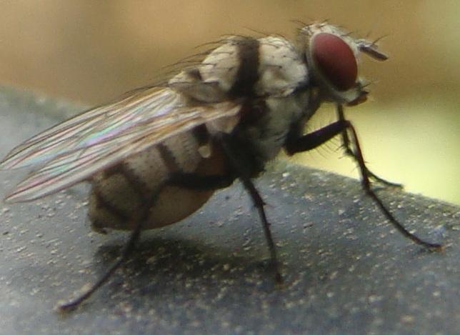 Anthomyia sp mouche ray e blanche - Mouche jaune et noire ...
