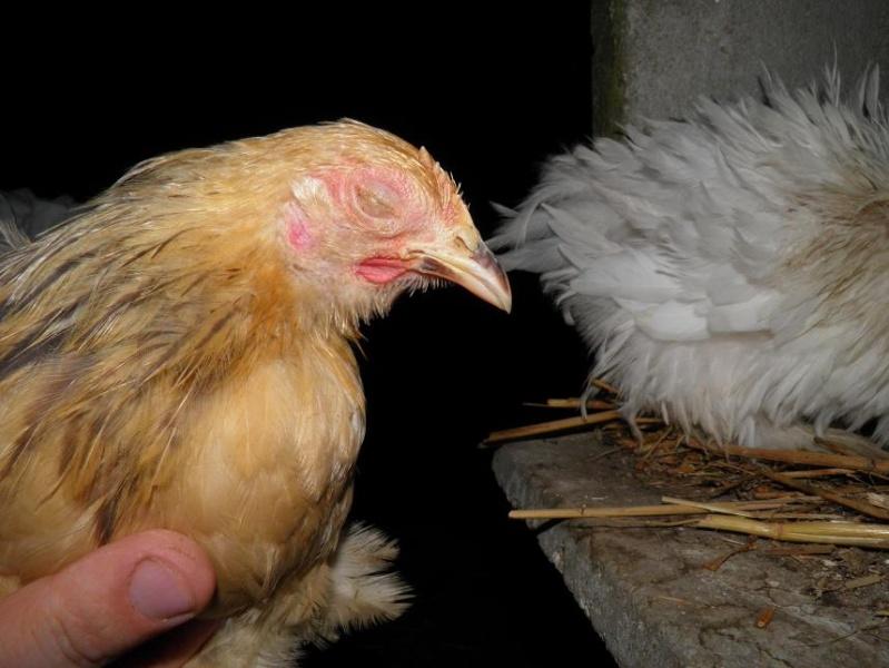 Coryza for Les maladies des poules