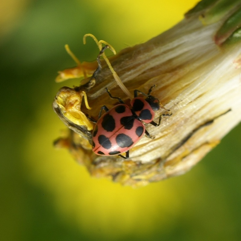 photos de coccinelles coccinelle macul e coleomegilla maculata pink spotted lady beetle. Black Bedroom Furniture Sets. Home Design Ideas