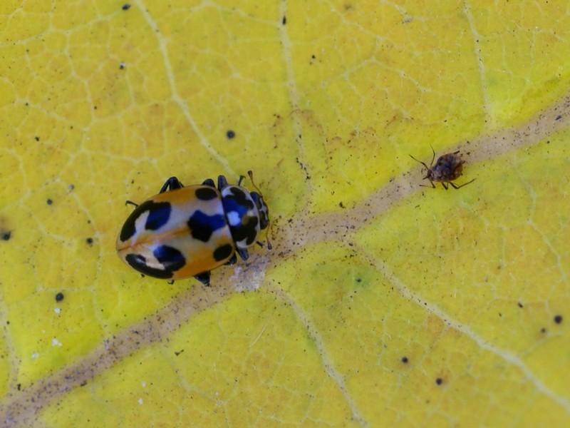 photos de coccinelles coccinelle parenth se hippodamia parenthesis parenthesis lady beetle. Black Bedroom Furniture Sets. Home Design Ideas