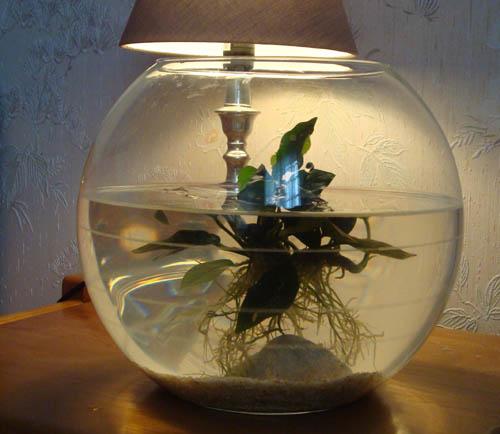 Anubia nana dans bac non filtr for Acheter bocal a poisson