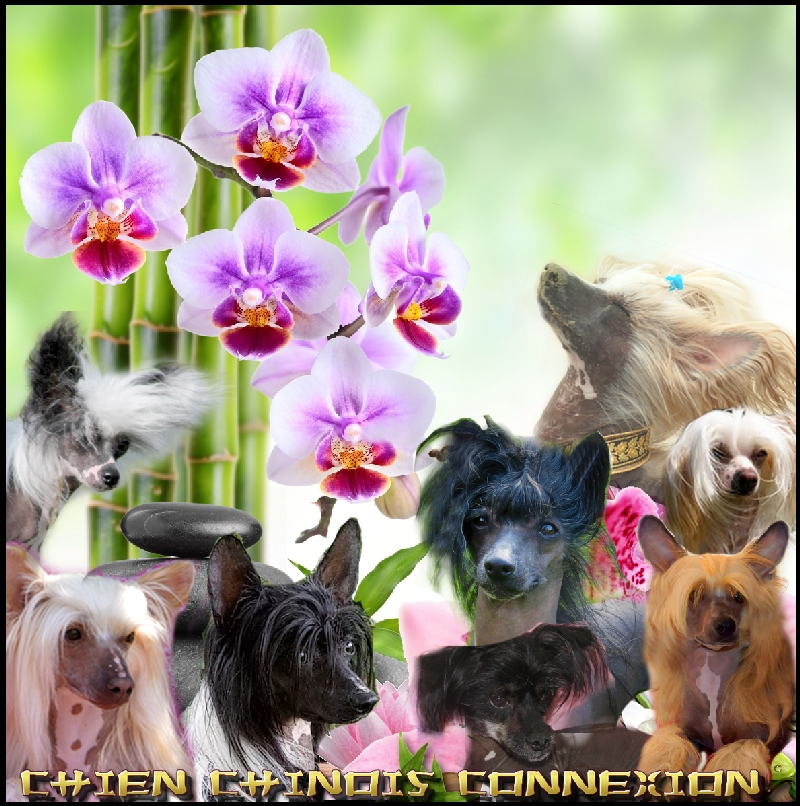 Chien Chinois Connexion